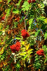 Ripe Mountain Ash berries © Arena Photo UK