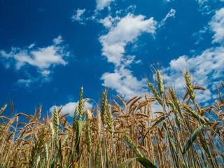 Weiß-blauer Himmel über Getreidefeld