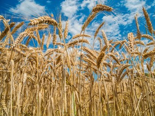 Getreidefeld wankt im Wind