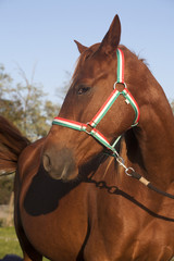 Head shot of a beautiful two years old mare horse