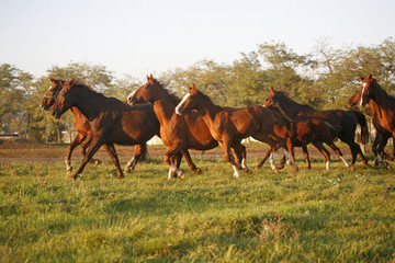 Batch of beautiful horses running across on pasturage