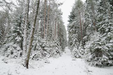 Winter snow covered trees . Viitna, Estonia.