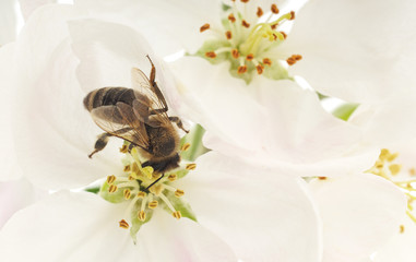 Honeybee and white flowers
