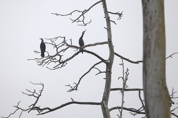 Cormorants on bare tree