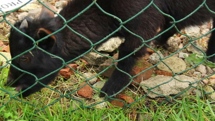 Grazing small goat, black kid eating grass behind fence