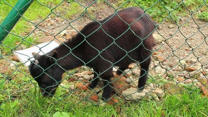 Black and red small goat eating grass behind fence, grazing