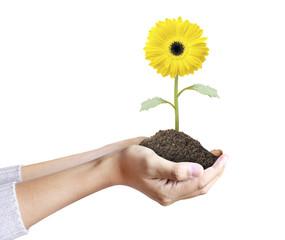 Hand holding  gerber daisy