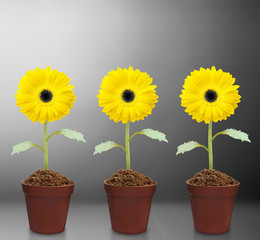 fresh beautiful sunflowers in  pot
