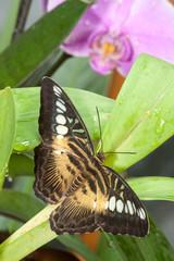 Fleckiger Schmetterling