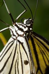 Schmetterlingsporträt