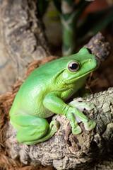 Grüngelber Frosch