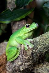 Aufmerksamer Frosch