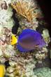 canvas print picture - Blauer Segeldoktorfisch