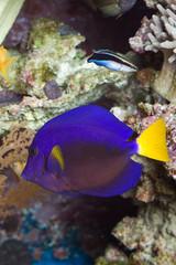 Segeldoktorfisch