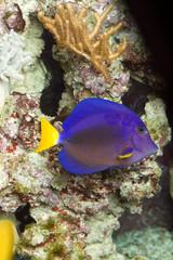 Blauer Segeldoktorfisch