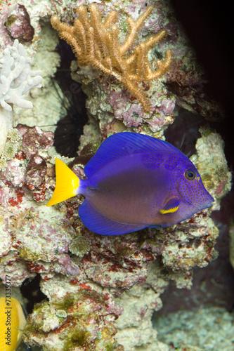 canvas print picture Blauer Segeldoktorfisch