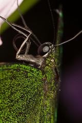 Schwalbenschwanz Makro