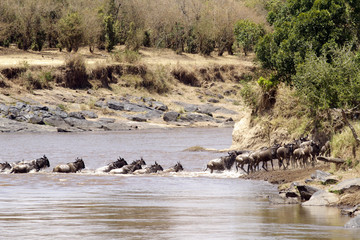 Wildebeast River Crossing on the Masai Mara