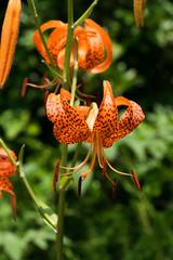Lilium leichtlinii var. Tigrinum, Liliaceae