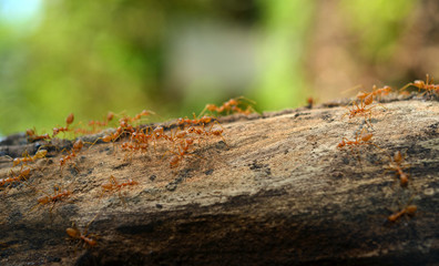 A group of weaver ants are moving across the tree branch
