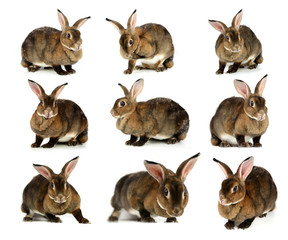 The Brown Bunny isolated on white background.