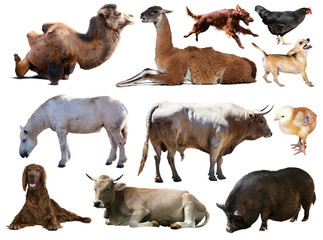Set of bull and other farm animals