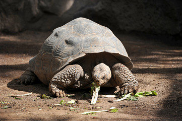 giant turtle eats greens