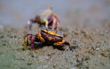 Uca pugnax on the mud