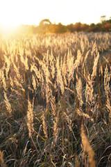 Wild grass in the warm sun light
