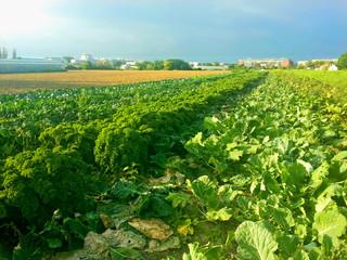 Bio Gemüsefeld in Wien