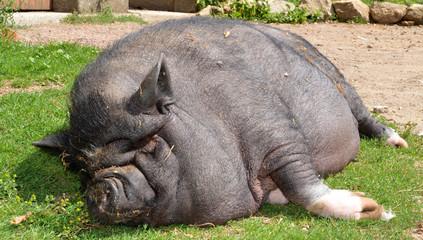 porc noir couché