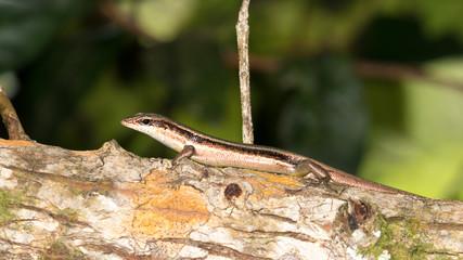 brown striped lizard