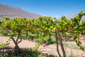 Grapes in a vineyard, Elqui valley (Chile)