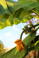 lush banana tree with the flower and the fruit hanging