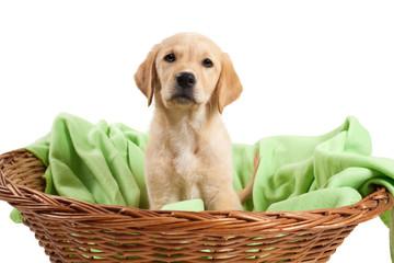 Labradorwelpe sitzt in seinem Körbchen