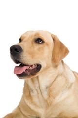 Junger Labrador