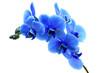 canvas print picture - Blue flower orchid