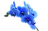 Fototapety Blue flower orchid