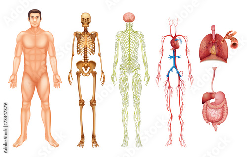 Human body systems - 73347379