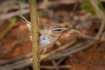 Dusky Warbler(Phylloscopus fuscatus)on the branch