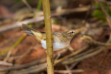 Dusky Warbler(Phylloscopus fuscatus) in nature Thailand