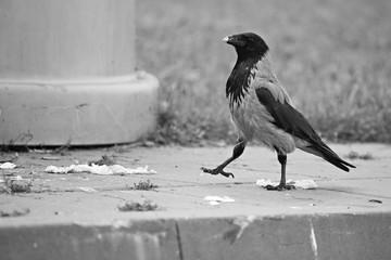 Proud hooded crow