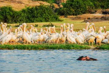 Great White pelicans, Kazinga Channel (Uganda)