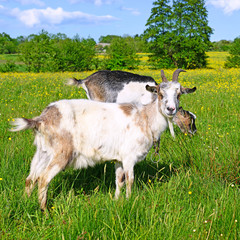 Goats on a summer pasture
