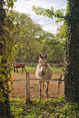 Beautiful White Horse on the Farm ranch
