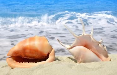 Conch shells on beach