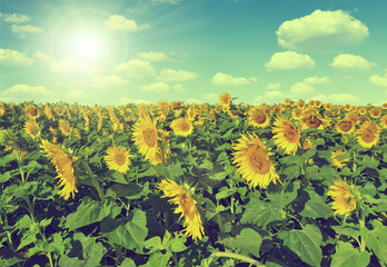 Sunflower field with sunny sky - Vintage style