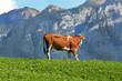 mucca con dolomiti