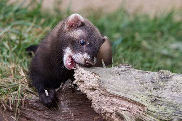 Polecat Kit Biting Log