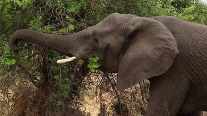 African elephant using his trunk to eat leaves from a tree.